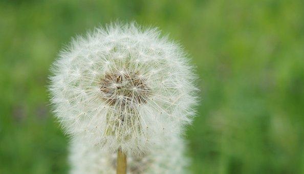 Dandelion, Seeds, Roadside, Flower, Close