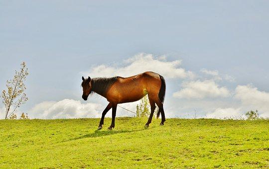 Horses, Animal, Mammal, Stallion, Farm, Wild, Mane, Run