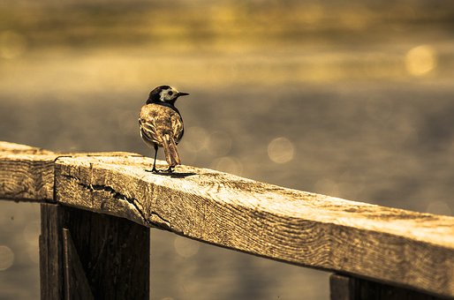 Bird On Railing, White Wagtail, Spring Lake, Bird