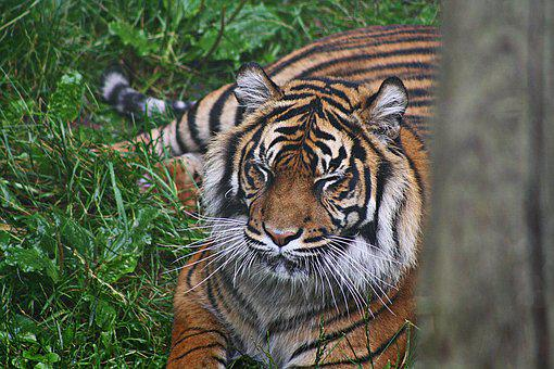 Tiger, Sumatran, Cat, Carnivore, Predator, Mammal