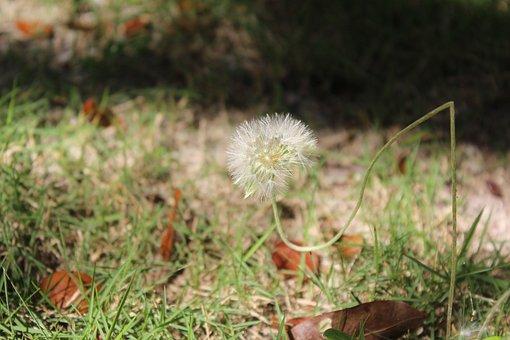 Common, Dandelion, Flowering, Herbaceous, Taraxacum