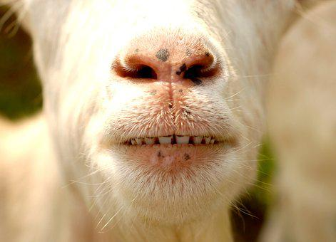 Animal, Goat, Teeth, Nose, Portrait