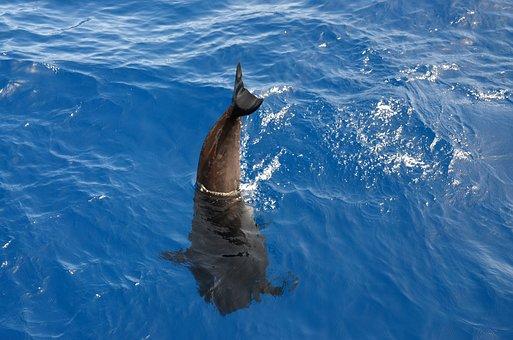 Wal, Pilot Whale, Marine Mammals, Water, Atlantic