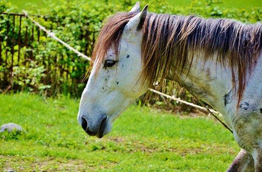White, Horses, Animal, Mammal, Stallion, Farm, Wild