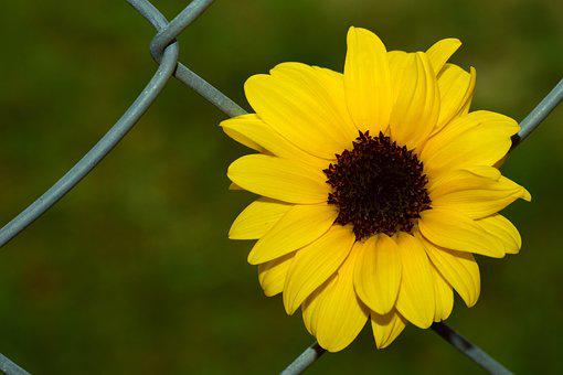 Sunflower, Fence, Wire Fence, Background, Beautiful