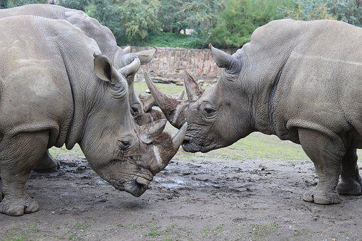 Rhino, Animals, Zoo, Pachyderm, Mammal