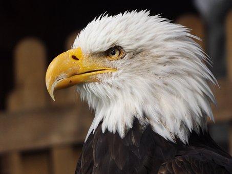 Bald Eagle, Eagle, Bird, Bird Of Prey