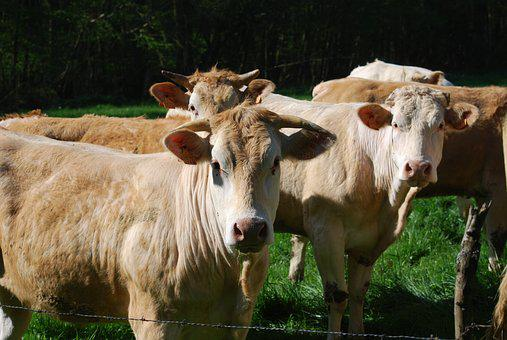 Cows, Blonde Of Aquitaine, Herd, Field, Agriculture