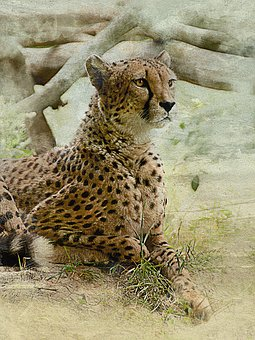 Cheetah, Cat, Predator, Wild Beast, Zoo, Danger, Lies