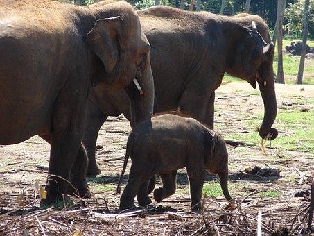 Elephant, Baby Elephant, Wild, Orphan, Sri Lanka