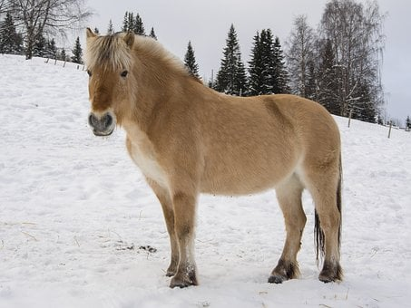 Horse, Norwegian, Fjord Horse, Winter, Snow, Fjord None