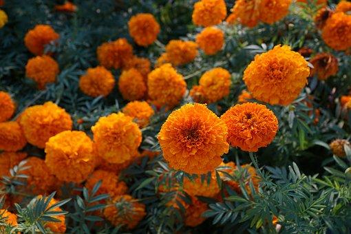 Flower, Yellow, Orange, Marigold, Blossom, Bloom