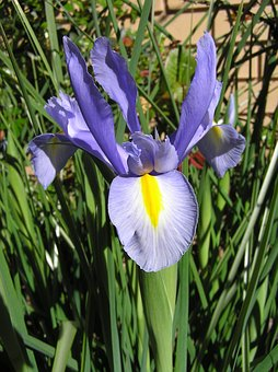 Dutch Iris, Blue, Flower