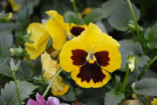 Flower, Flowers, Yellow Pansies, Parterre, Massif