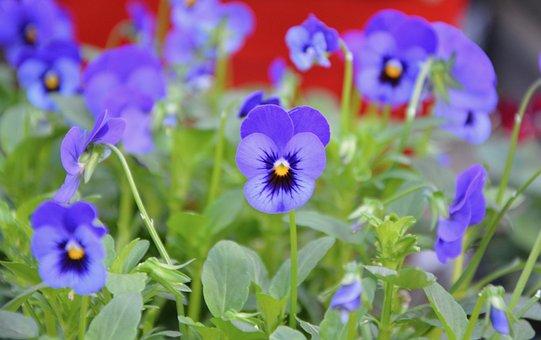 Flowers, Flower, Jardiniere, Pot, Thoughts Blue