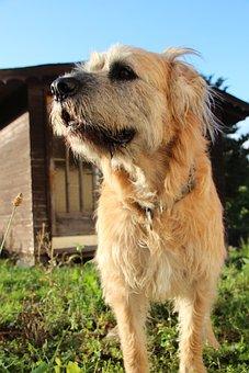Dog, Pet, Hybrid, Curious, Fur, Domestic Dog, Scrubby
