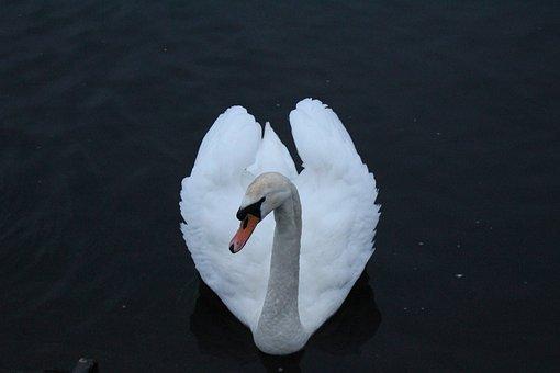 Swan, Otley, River, Heart, Bird, Wildlife, Water