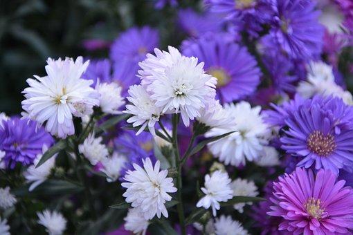 Plant, Plants, Pomponettes, White, Violet, Nature