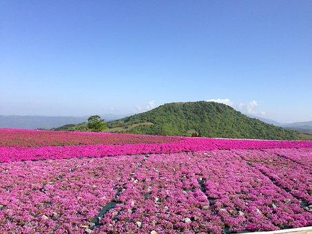 Flowers, Phlox, Spring