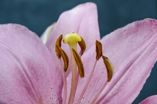 Lily, Pink, Petals, Macro, Beautiful, Summer, Flower