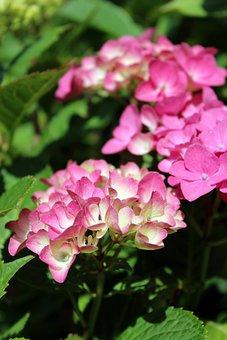 Hydrangeas, Hydrangea, Pink, Nature, Flower, Summer