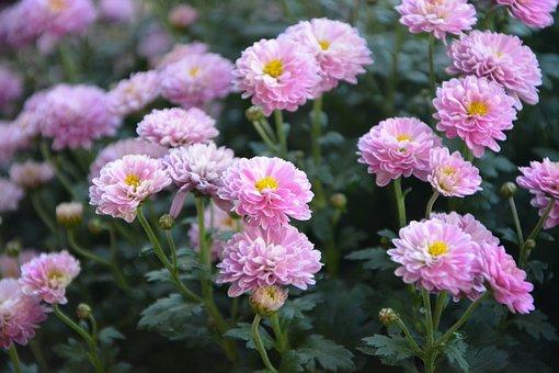 Flower, Pink Flowers, Mums, Garden, Nature, Plant