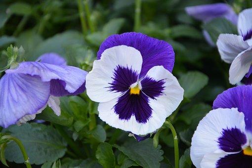 Flower, Flowers, Flowering, Purple Flowers, Purple