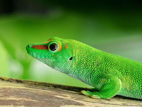 Lizard, Madagascar, Day Gecko, Scale, Green, Reptile