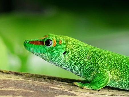 Lizard, Madagascar, Day Gecko, Scale, Green, Reptile