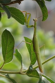 Insect, Praying Mantis, Scare, Flight Insect, Branch