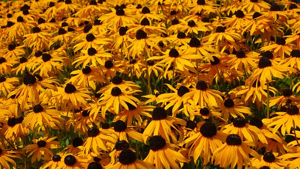 Flowers, Yellow Flowers, Rudbeckia Fulgida, Sun Hat