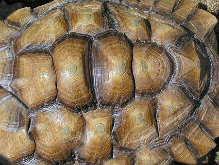 Shell, Tortoise, Texture
