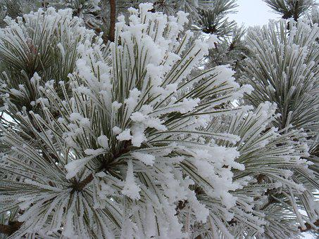 Frost, Snow, Pine Needles, Winter, Cold, Tree, Branch