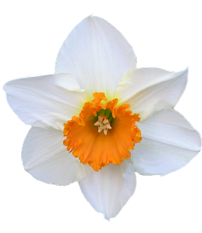 Daffodil, White, And Orange, Flower