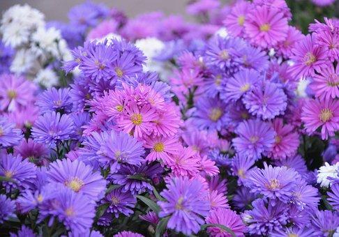 Flowers Pomponnettes, Flower, Pink Colors, Parma, White