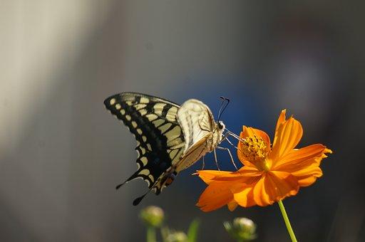 A Common Yellow Swallowtail, Eaten Feathers
