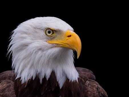 Raptor, Bald Eagle, Head, Close, Bill, Animal, Portrait