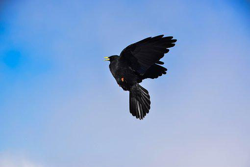 Bird, Crow, Raven Bird, Raven, Birds, Nature, Animal
