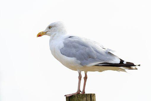 Seagull, Bird, Perched, Timber Post, Feather, Beak