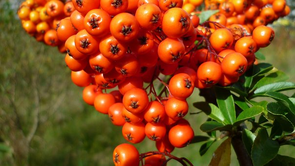 Berries, Sea Buckthorn, Wild Plant, Red Orange, Meadow