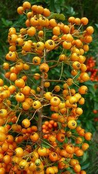 Sea Buckthorn, Berry, Bush, Yellow, Berries, Meadow