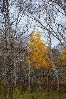 Late Autumn, Forest, Bare Trees, Fallen Leaves, Birch