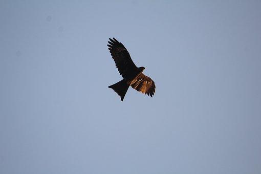 Black, Kite, Milvus Migrans, Bird, Predator, Flight