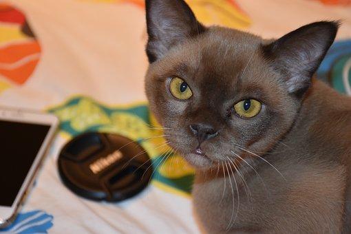 Burmese, Cat, Chocolate