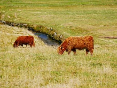 Feast, Animal, Pasture, Corners, Cattle