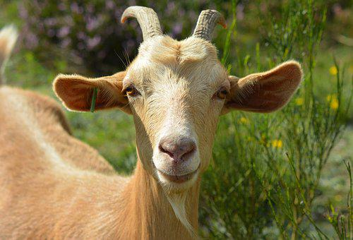 Goat, Billy Goat, Bock, Goat Portrait, Portrait, Pillar