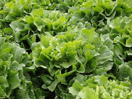 Endive Salad, Lettuce, Green Salad, Vegetables, Garden