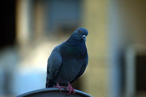 Pigeon, Homing Pigeon, Columba Livia Domestica, Staring