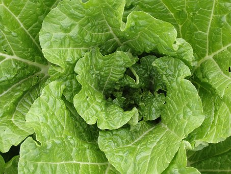 Chinese Cabbage Young, Salad, Häuptel, Lettuce, Crop