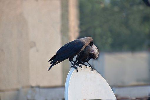 House Crows, Crows, Preening, Head Scratching, Pair
